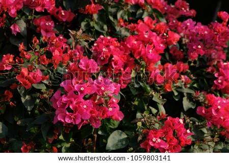 Pink Flower Evergreen Shrub Bougainvillea Glabra Stock Photo Edit