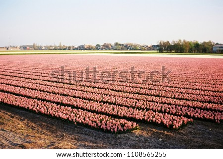 Pink flower field in the Netherlands