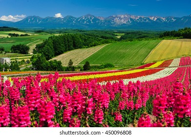 Pink flower field and several color at Shikisai-no-oka, famous attraction in Biei, Hokkaido, Japan