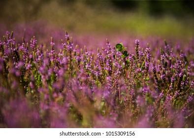 pink flower  in the fields