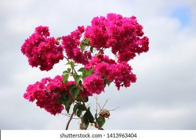 Pink Flower in Fiji Island