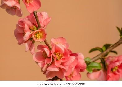 Pink flower in full bloom on a soft background. Springtime.