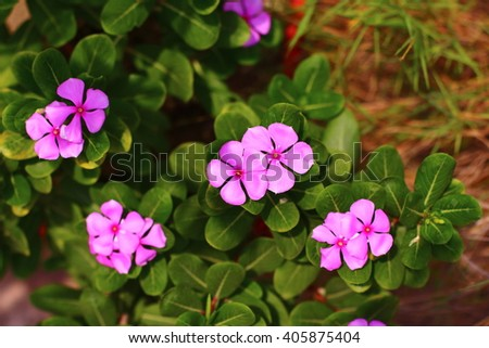 Pink Flower Garden West Indian Periwinkle Stock Photo (Edit Now ...