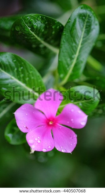 pink flower in garden, West indian periwinkle, Madagascar periwinkle, Catharanthus roseus, Vinca flower, Bringht Eye.Vinca flower with drops of dew.