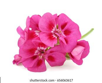 Pink flower of Geranium, Pelargonium, Geraniaceae on white background