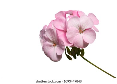 Pink flower of Geranium, Pelargonium hortorum Bail (Geraniaceae) isolated on white background with clipping path