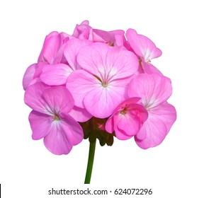 Pink flower of Geranium, Pelargonium x hortorum L.H.Bail (Geraniaceae) isolated on white background
