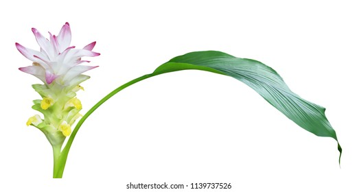 Pink Flower with Greeb Leaf of Curcuma Plant Isolated on White Background