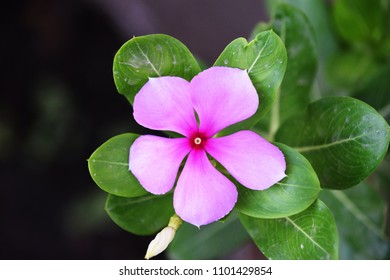Pink flower with green leaves.