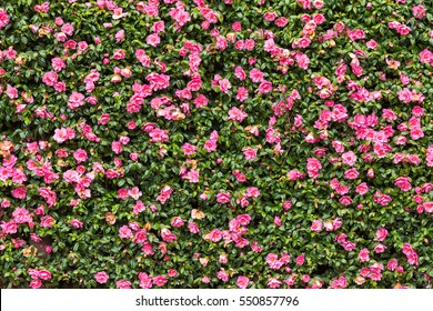 Pink flower hedge background image