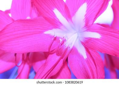 Pink flower of a hippeastrum. Closeup view.