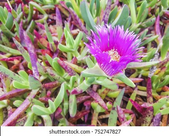 Pink flower of Hottentot fig, highway ice plant or pig face is a invasive plant of Galicia coastal dunes