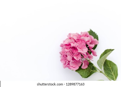 Pink flower of hydrangea isolated on white background. Hortensia are blooming in spring and summer.