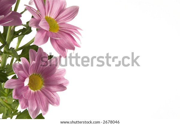 pink flower isolated one a white background