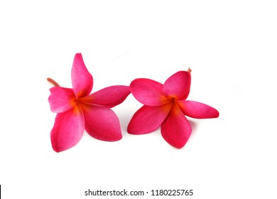 Pink flower isolated / Red frangipani or Red Plumeria on white background - frangipani plant family