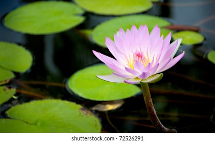 pink flower, lily pad flower, hawaii flower, purple flower on lily pad