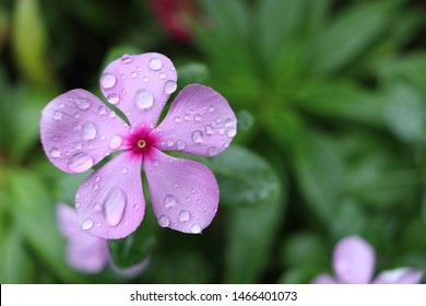 Pink flower of Madagascar Periwinkle and blur background, droplets are on the petal. Another name is West Indian Periwinkle, Indian Periwinkle, Pink Periwinkle, Old Maid, Vinca.