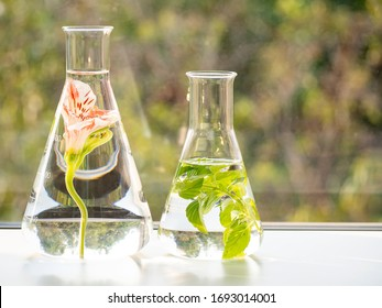 Pink flower and mint leaves in the glass lab. Preparing experiments for extracting, extracts or the smell, comes from general perfume. Method for extracting odors and natural oils from flowers, plants