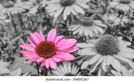 Pink flower on a black and white background