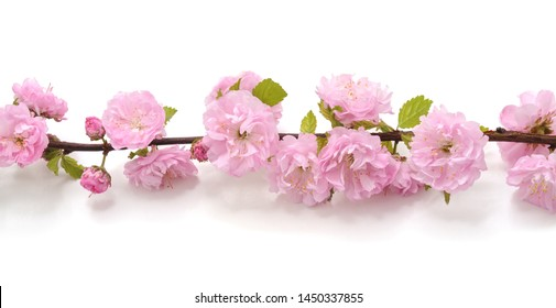 Pink flower on a branch isolated on a white background.