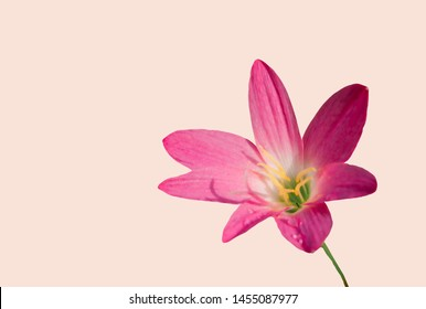 pink flower  on soft brown background with empty space