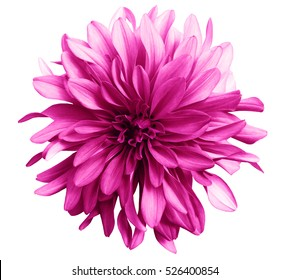 pink flower on a white  background isolated  with clipping path. Closeup. big shaggy  flower. for design.  Dahlia.