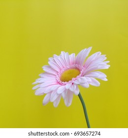 Pink flower on yellow background
