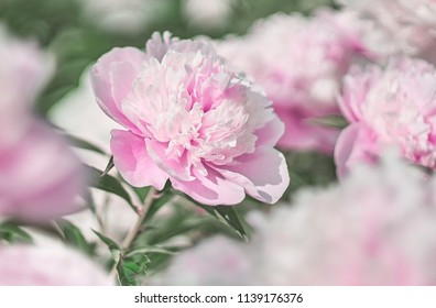Pink flower peonies flowering on background pink flowers peonies.