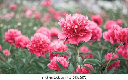 Pink flower peony flowering in peonies garden. Nature.