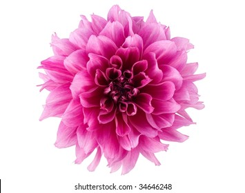Pink flower peony isolated on white