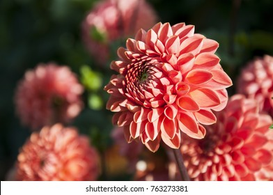 The pink flower of  pompon dahlia .