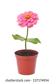 pink flower in a pot isolated on white