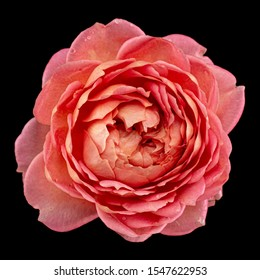 Pink flower of rose, isolated on black background