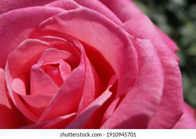 Pink Flower of Rose 'Stephanie de Monaco' in Full Bloom