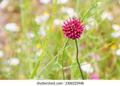 Pink flower of round-headed leek or garlic, Allium sphaerocephalon, growing in Galicia, Spain