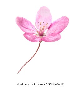 Pink flower from sakura tree isolated on white background. Macro close up studio shot