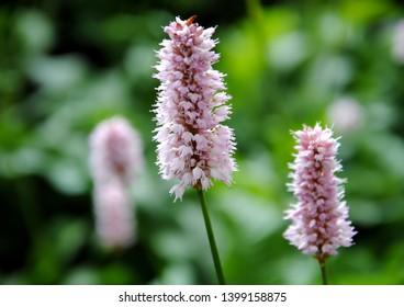 Pink flower spikes of common or meadow bistort or adderwort or snakeweed or Easter ledges (Persicaria bistorta)