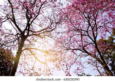 Pink flower tree blooming in nature