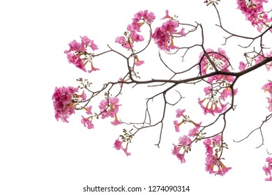 Pink flower and tree branch isolated on white background, Blooming beautiful pink flower.