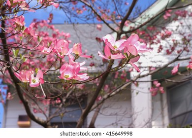 Pink flower tree in front of a house