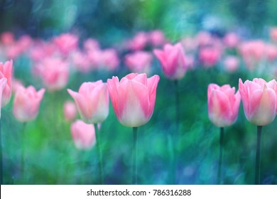 Pink flower tulip lit by sunlight. Soft selective focus, close up, toning. Bright colorful photo background