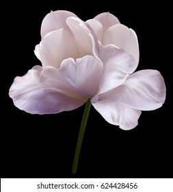 Pink  flower tulip on black isolated background with clipping path. Close-up.  no shadows. Shot of White Colored. Nature.