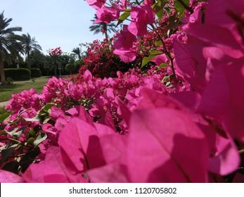 pink flower wallapaper