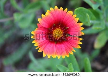 Pink Flower Yellow Tips Stock Photo Edit Now 543695080 Shutterstock