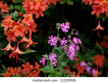 The Pink flowered, English wildflower, Red Campion (Silene Doica)  highlighted againts a backdrop of red Azalea flowers.