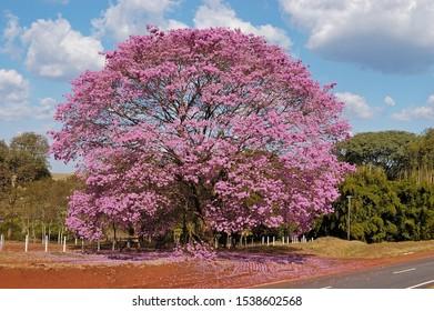 Pink flowered ipe in open field