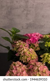 Pink flower-head of an hydrangea plant over gray background.