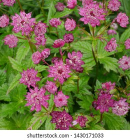 Pink Flowering Astrantia Hadspen Blood Masterwort Plant