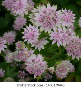 Pink Flowering Astrantia Major Buckland Masterwort Plant