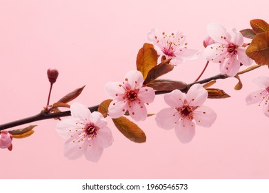 Pink Flowering Blossoms on the Branches Cherry Tree